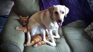 Постарайся не засмеяться Challenge - Подборка смешных котов и собак